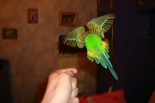 волнистый попугай летит по комнате