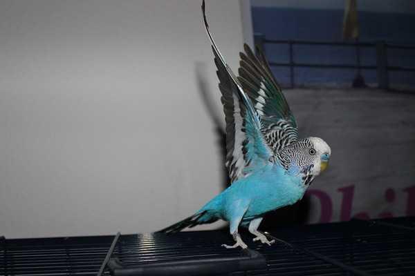 попугай плохо летает