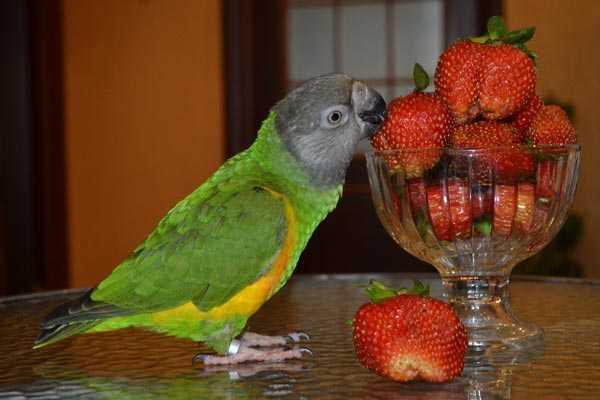 сенегал ест ягоды клубники