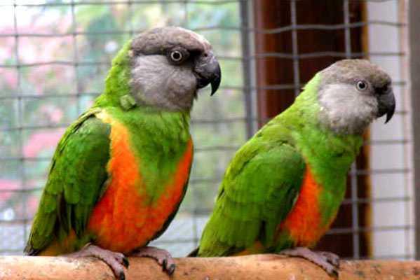 сенегальские попугаи на жердочке в клетке