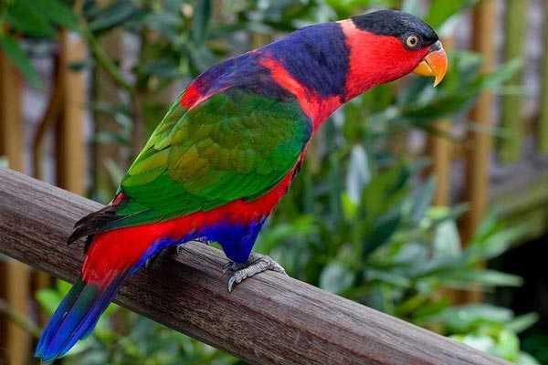 попугай широкохвостый лори