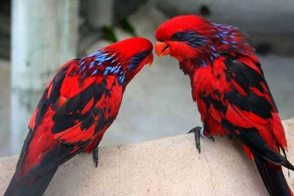 синеухие красные попугаи