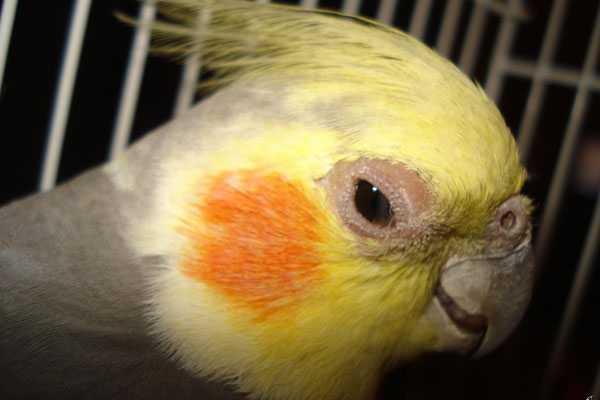 симптомы болезней у птички