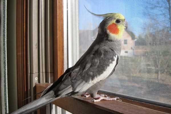 попугай нимфа смотрит в окно