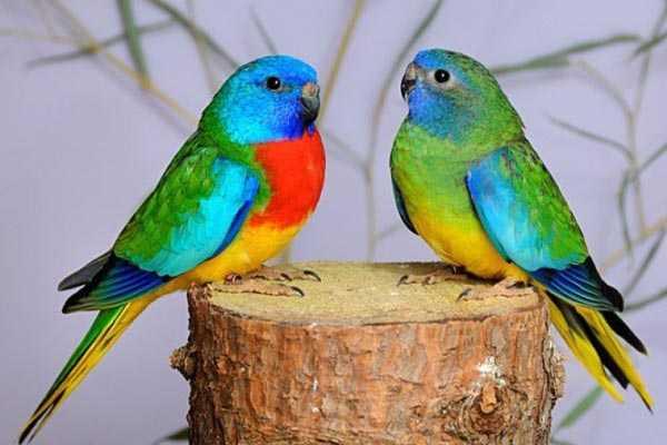 пара травяных попугайчиков
