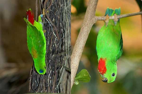 Висячие птицы нетопыри