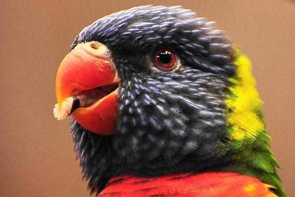 щетинки языка лориевого попугая