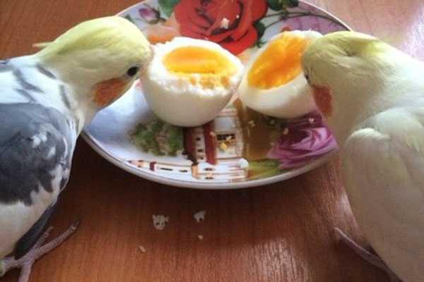 как кормить кореллу яйцами