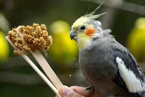 корелла ест корм на палочке