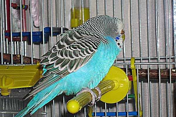 диарея у волнистого попугая