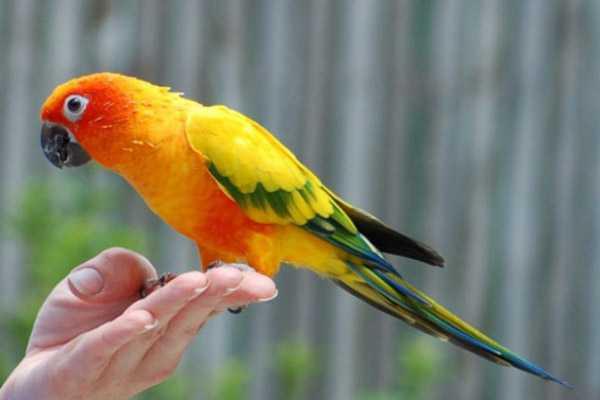 домашний попугай аранинга сидит на руке