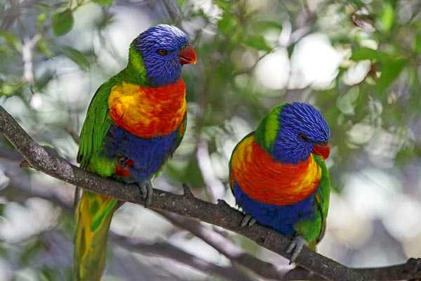 лориевые попугаи яркие как радуга