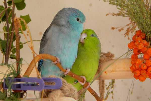 воробьиные птички сидят на веточке в доме