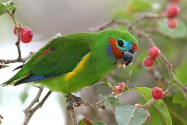 фиговый ест цветки с дерева