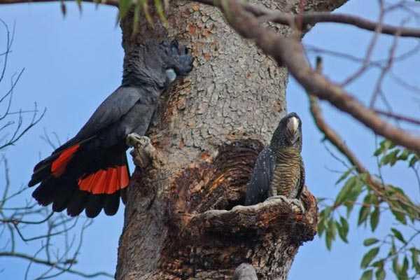 парочка попугаев сделала гнездо в дупле дерева