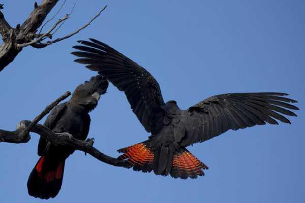Самец и самка краснохвостых попугаев