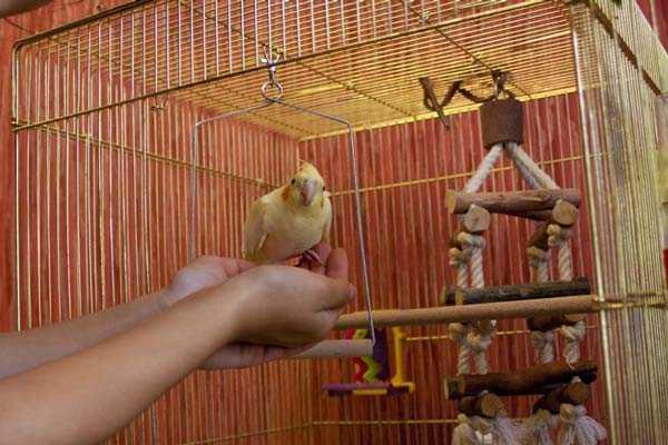 жилье птички нимфы