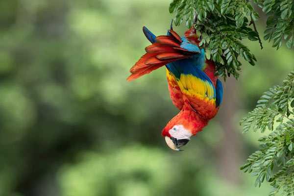 красный ара в естественной среде обитания среди деревьев