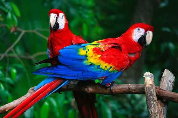 красные ара сидят на ветке