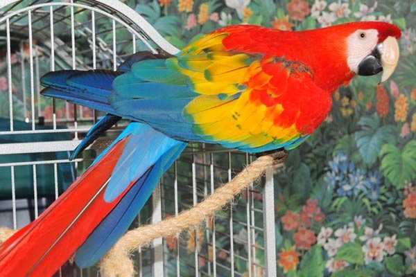 красный ара в домашних условиях
