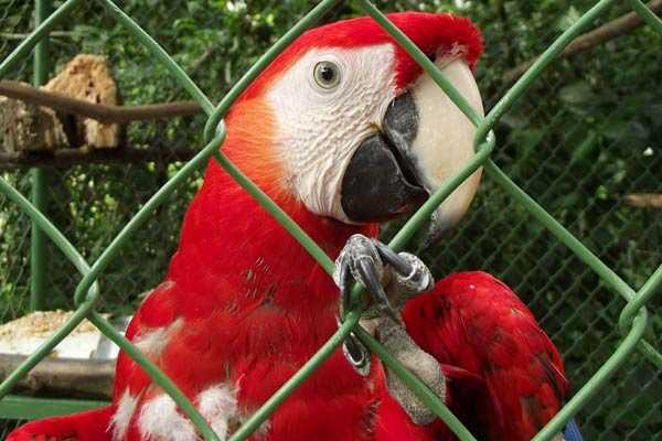 красный ара в клетке