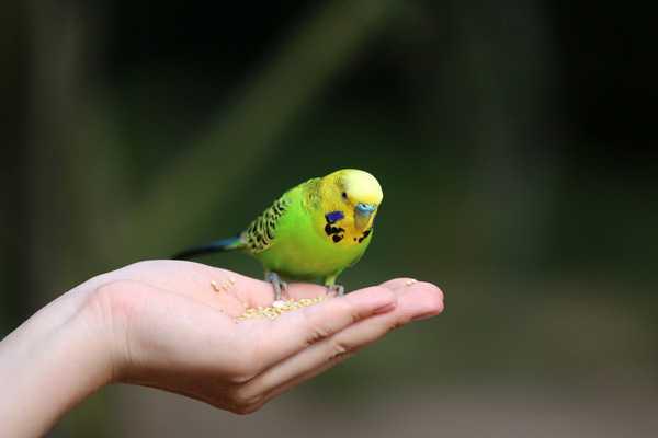 маленький попугай сидит на ладони и ест зерна