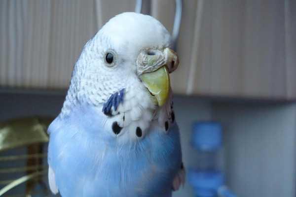 нарост на клюве у волнистого попугая