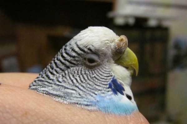 образование на восковице у волнистого попугая