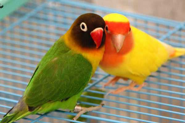 две птички неразлучника сидят на клетке