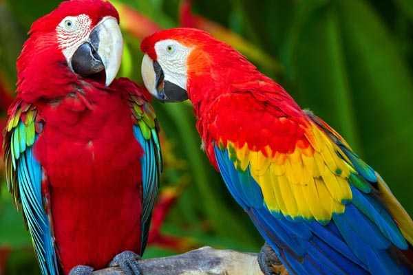 пара попугаев макао