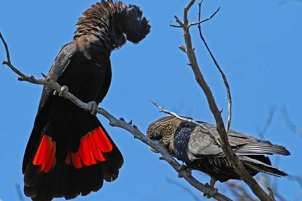 Самец и самка краснохвостых птиц
