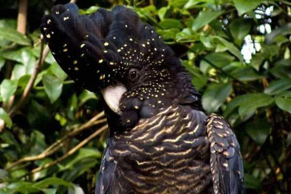 самка траурного попугая бэнкса