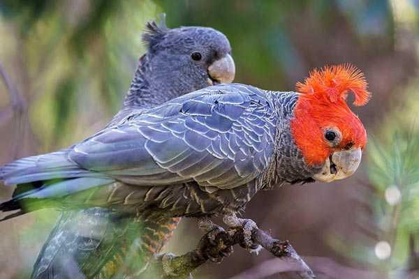 шлемоносные пернатые питомцы самец, самка