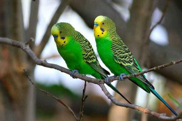фото волнистых попугайчиков на ветке