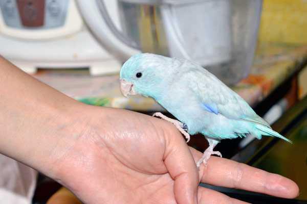 фото воробьиного попугайчика на руке