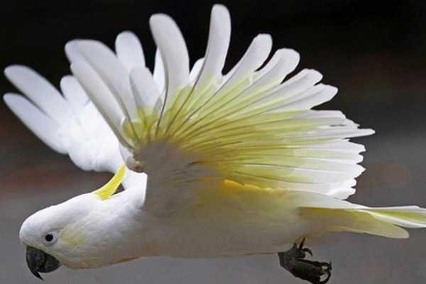 желтохохлый летит расправив крылья