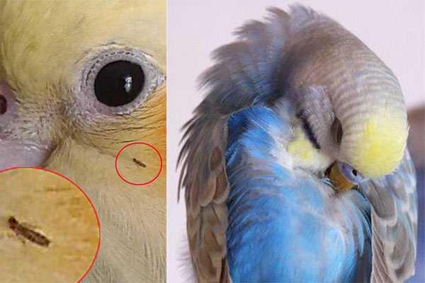 как выглядят блохи на теле попугая