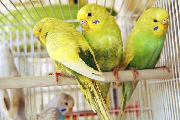 блохи у волнистых попугайчиков в клетке