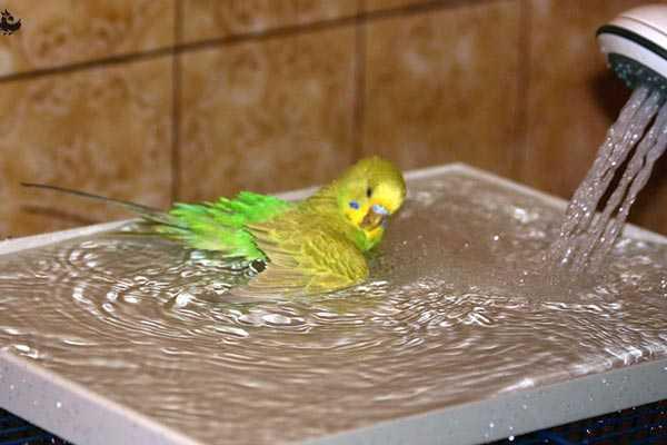 попугай купается под душем