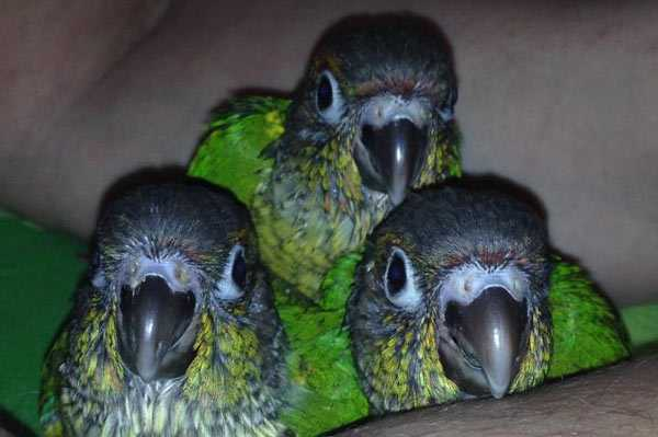 птенцы попугайчиков