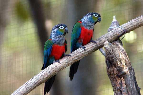 попугаи пиррура сидят на ветке