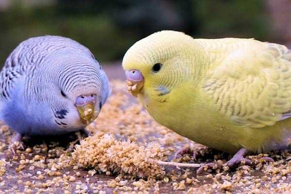 два птенца едят корм