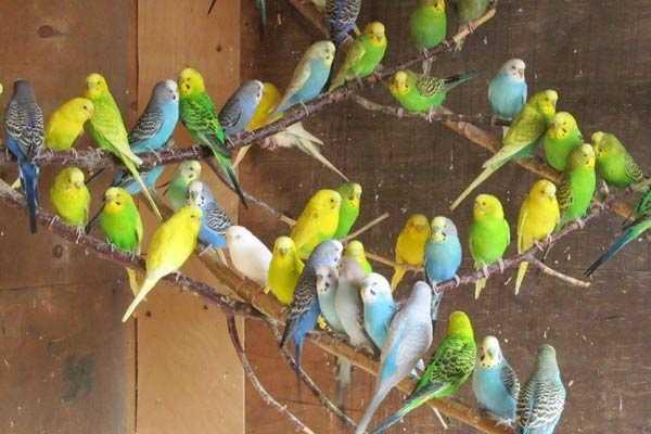 цветовые разновидности птиц
