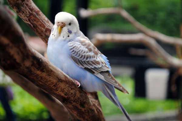 у самок волнистого попугая может застрять яйцо