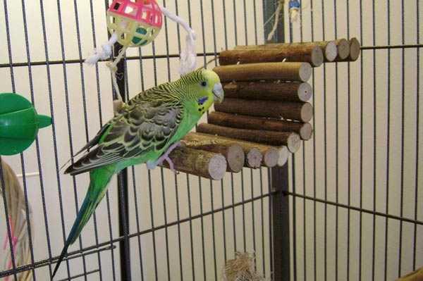 содержание волнистого попугая в клетке
