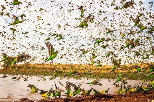 большая стая птиц прилетела на водопой