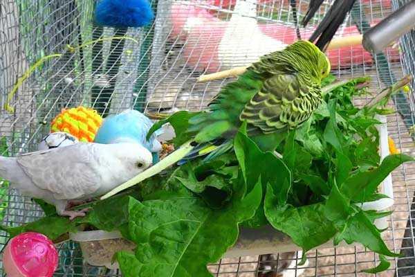 птицы едят зелень одуванчиков