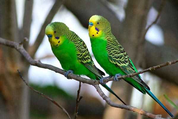 парочка волнистых попугаев сидит на ветке