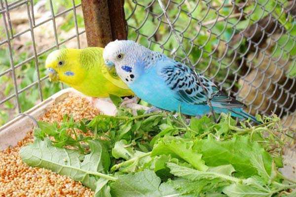 волнистые попугаи едят зелень