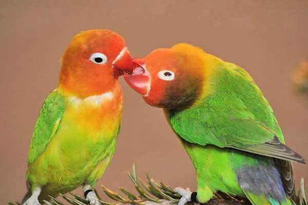 пара неразлучников целуется